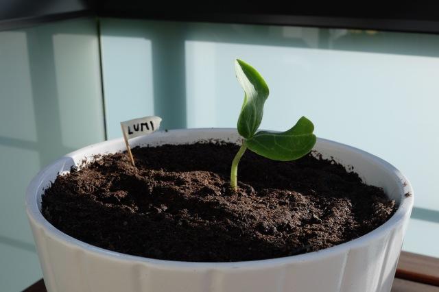 19:04 Uhr: Wir haben das im Kindergarten gezogene Kürbispflänzchen eingepflanzt. Mal sehen was das gibt. Auf dem Balkon.